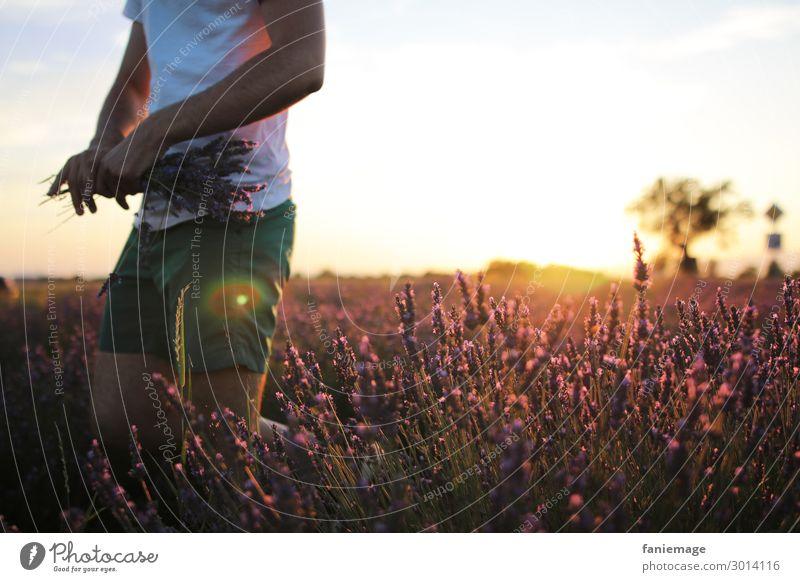 Lavendel pflücken maskulin Körper 1 Mensch 30-45 Jahre Erwachsene Umwelt Natur Schönes Wetter Feld Bewegung Provence Lavendelfeld Valensole Blumenstrauß Shorts