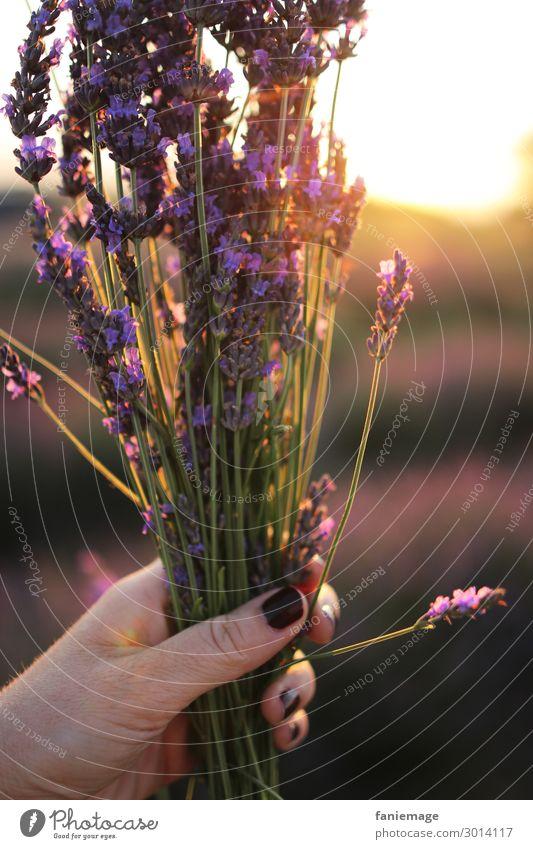 bouquet de lavande feminin Finger Umwelt Natur Schönes Wetter Freude Glück Fröhlichkeit Lebensfreude Lavendelfeld Blumenstrauß Nagellack Gegenlicht violett Duft