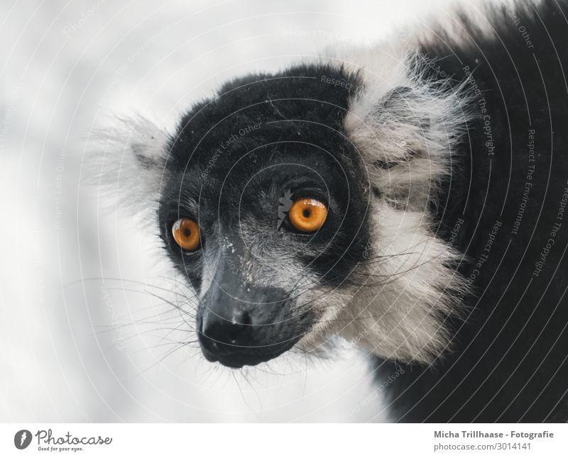 Vari Porträt Natur Tier Himmel Sonnenlicht Schönes Wetter Wildtier Tiergesicht Fell Affen Halbaffen Kopf Auge Ohr Nase Maul 1 beobachten glänzend leuchten Blick
