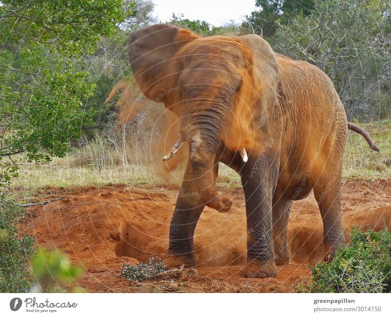 Afrikanischer Elefant nimmt eine Dusche Ferien & Urlaub & Reisen Natur Sommer Landschaft Tier Ferne Tourismus Freiheit Sand Ausflug Park Erde Wildtier Abenteuer