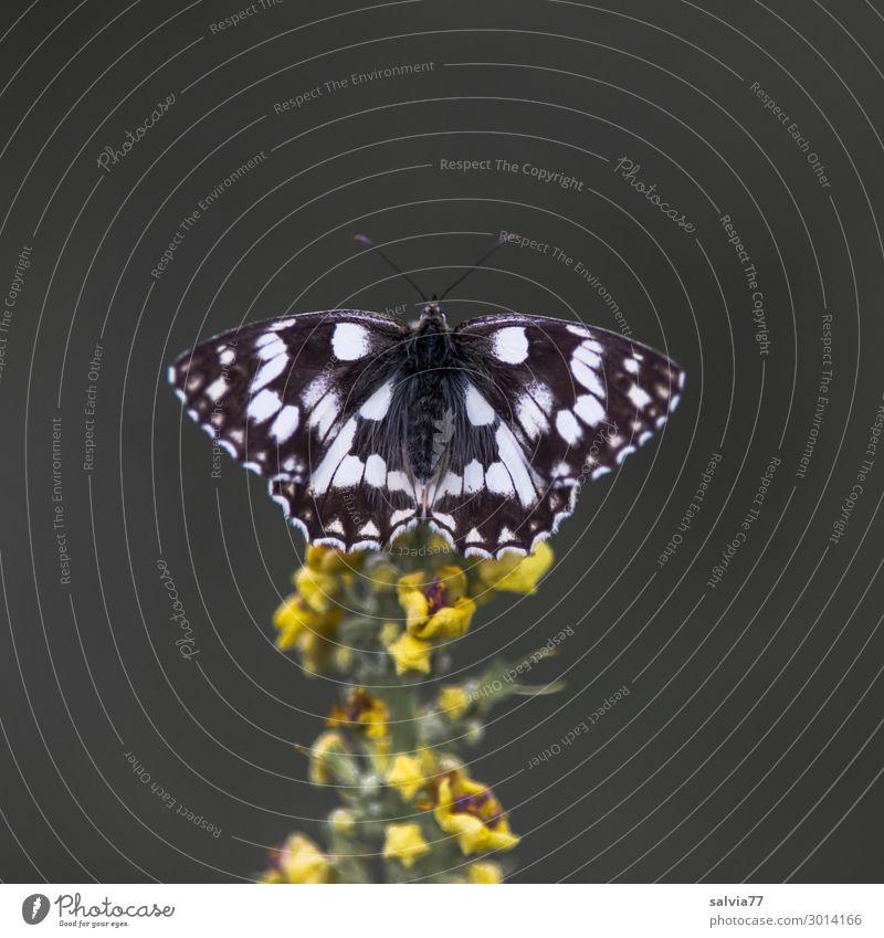 Schachbrett Umwelt Natur Sommer Pflanze Blume Blüte Wildpflanze Königskerze Tier Schmetterling Flügel Insekt 1 Duft Farbfoto Außenaufnahme Makroaufnahme Muster