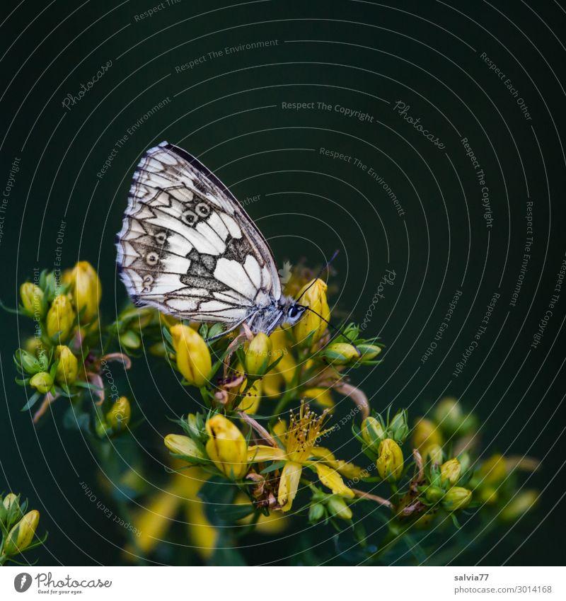 Schlafplatz Umwelt Natur Pflanze Blume Blüte Wildpflanze Heilpflanzen Johanniskraut Feld Tier Schmetterling Flügel Insekt Schachbrett 1 Pause ruhig