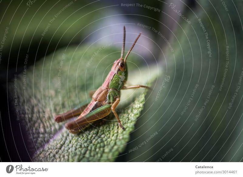 Auf dem Sprung Natur Tier Sommer Pflanze Blatt Salbeiblatt Garten Wildtier Insekt Steppengrashüpfer Heuschrecke 1 hocken sitzen springen klein braun grün