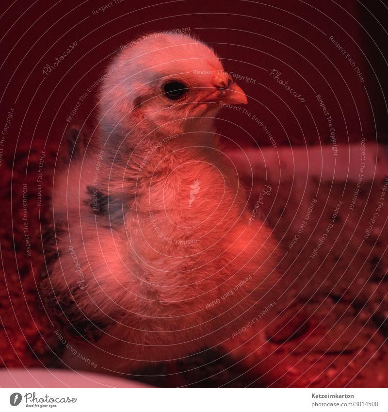 Küken im Rotlicht Tier Haustier Nutztier Vogel Flügel 1 Tierjunges Wachstum niedlich Haushuhn Hühnerküken gefiedert Feder Wärmelampe Tierzucht züchten Farbfoto