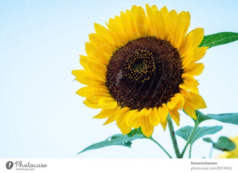 Sonnenblumenblüte Sonnenblumenkern Ernährung Garten Natur Pflanze Sonnenlicht Sommer Schönes Wetter Blume Nutzpflanze Feld Blühend Wachstum Fröhlichkeit
