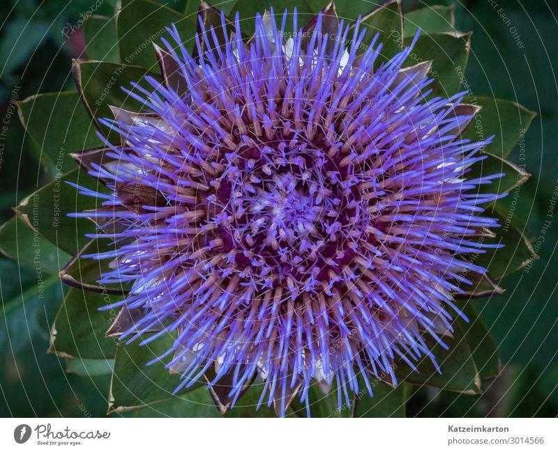 Struktur einer Artischockenblüte Lebensmittel Gemüse Ernährung exotisch Garten Natur Pflanze Sommer Blüte Nutzpflanze Feld Blühend Wachstum lecker violett