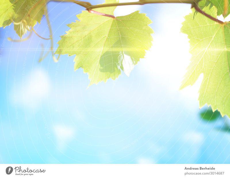 Weinblätter Sommer Landwirtschaft Forstwirtschaft Natur Blatt Qualität Wachstum freshness close harvest agricultural vineyard wine autumn sky sun branch