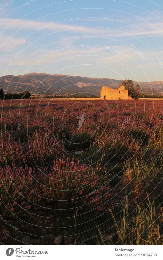 Abend im Lavendelfeld Umwelt Natur Landschaft Schönes Wetter Feld Gefühle Stimmung Valensole Provence violett Duft Südfrankreich Ruine beschaulich Idylle