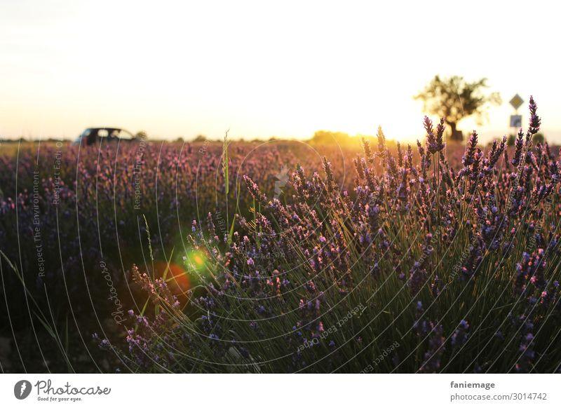 Lavendelfeld deluxe Natur Landschaft Schönes Wetter Wärme Feld Gefühle Stimmung Glück Valensole Provence Südfrankreich Frankreich Sonnenuntergang Romantik Baum