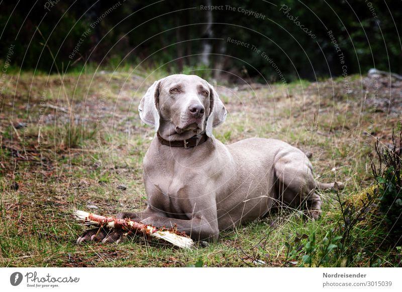 R.I.P. Tia Hund Tier Wald Wiese Gras Ausflug wandern beobachten Freundlichkeit Sicherheit Haustier Vertrauen Tierliebe Weimaraner loyal Jagdhund