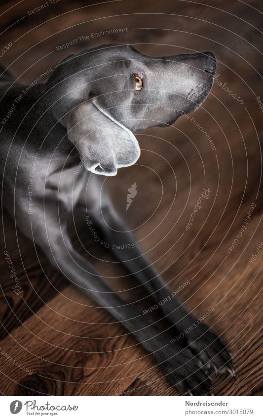 Weimaraner Jagdhund Tier Haustier Hund Fell 1 beobachten warten Häusliches Leben Freundlichkeit braun grau Wachsamkeit elegant Hundeauge Hintergrundbild