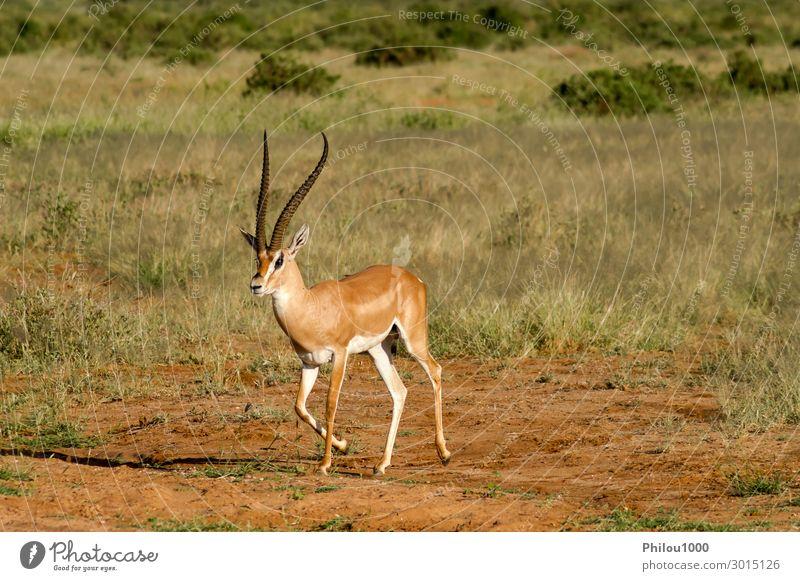 Junge weibliche Antilope in der Savanne von Samburu schön Safari Frau Erwachsene Mann Natur Tier Park natürlich wild Afrika Kenia Afrikanisch Antilopen Fauna