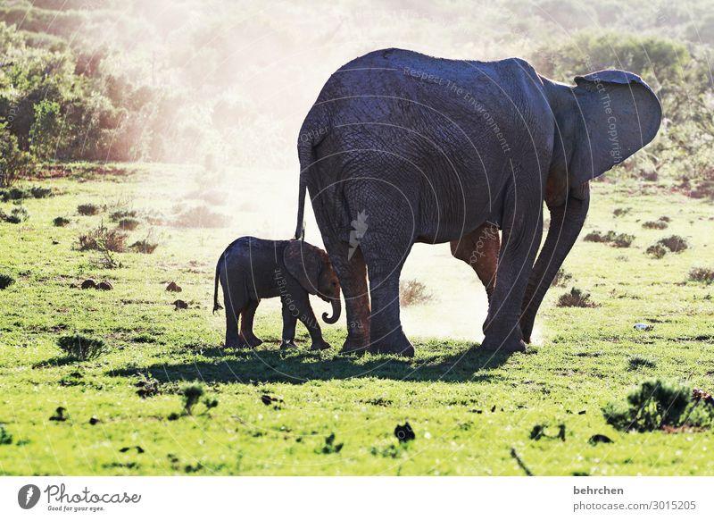 sicherheit und vertrauen  elefantenmutter mit kind beobachten wild fantastisch wunderschön intensiv Wildnis Sonnenlicht exotisch beeindruckend besonders Fernweh