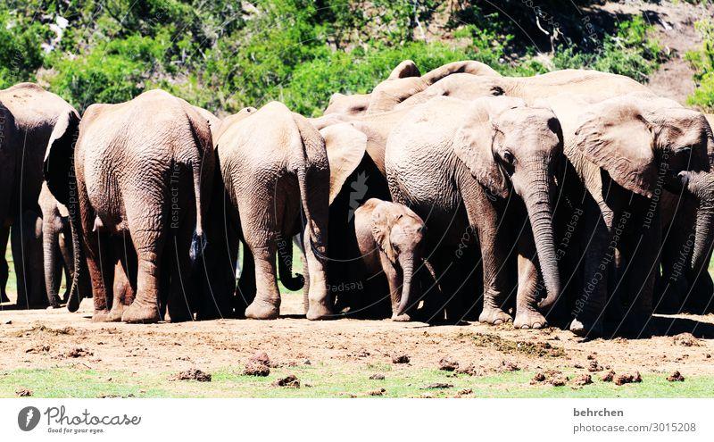 beschützt Ferien & Urlaub & Reisen Tourismus Ausflug Abenteuer Ferne Freiheit Safari Wildtier Tiergesicht Elefant Tiergruppe Tierjunges Tierfamilie beobachten