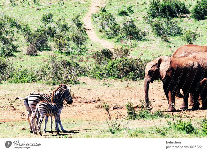 vis-a-vis Ferien & Urlaub & Reisen Tourismus Ausflug Abenteuer Ferne Freiheit Safari Wildtier Tiergesicht Fell Elefant Zebra außergewöhnlich exotisch