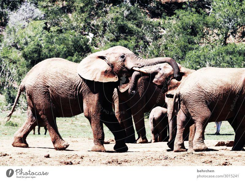 platzhirsch ähm elefant;) Ferien & Urlaub & Reisen Tourismus Ausflug Abenteuer Ferne Freiheit Safari Wildtier Tiergesicht Elefant Rüssel Ohr Herde kämpfen