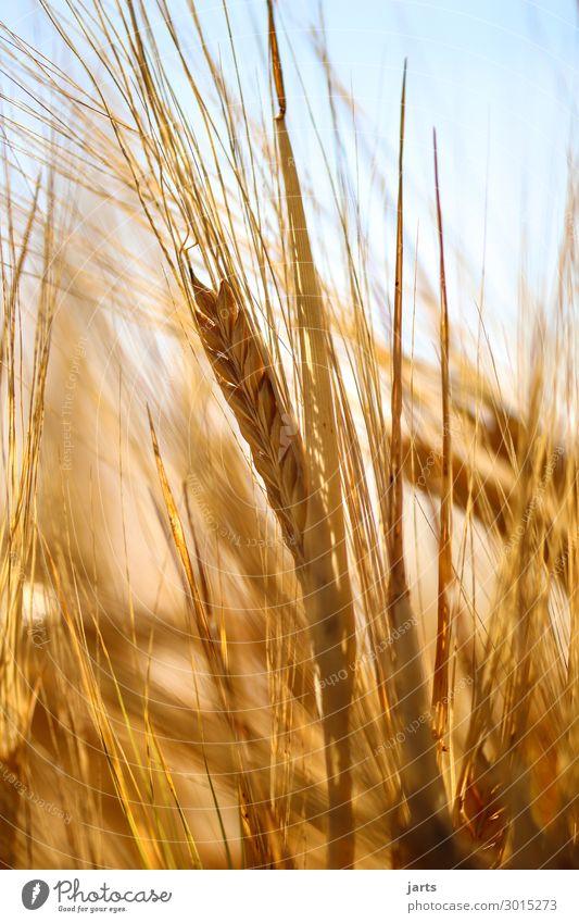 goldgelb Natur Pflanze Sommer Schönes Wetter Nutzpflanze Feld frisch Gesundheit natürlich Lebensmittel Getreide Kornfeld Gerste Bioprodukte Farbfoto