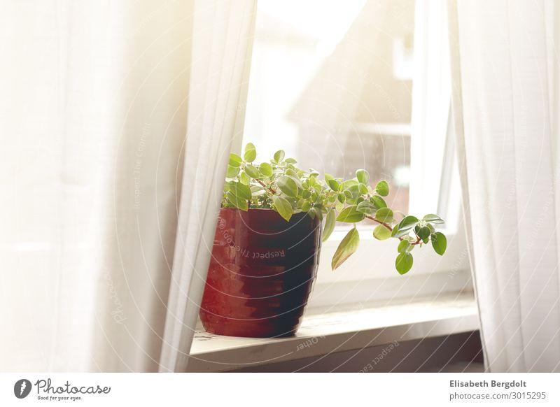 Zimmerpflanze mit rotem Übertopf auf einer Fensterbank Gardinen vorhänge zimmerpflanze ruhig einrichten Wohnung Haus Pflanze Grünpflanze Topfpflanze genießen