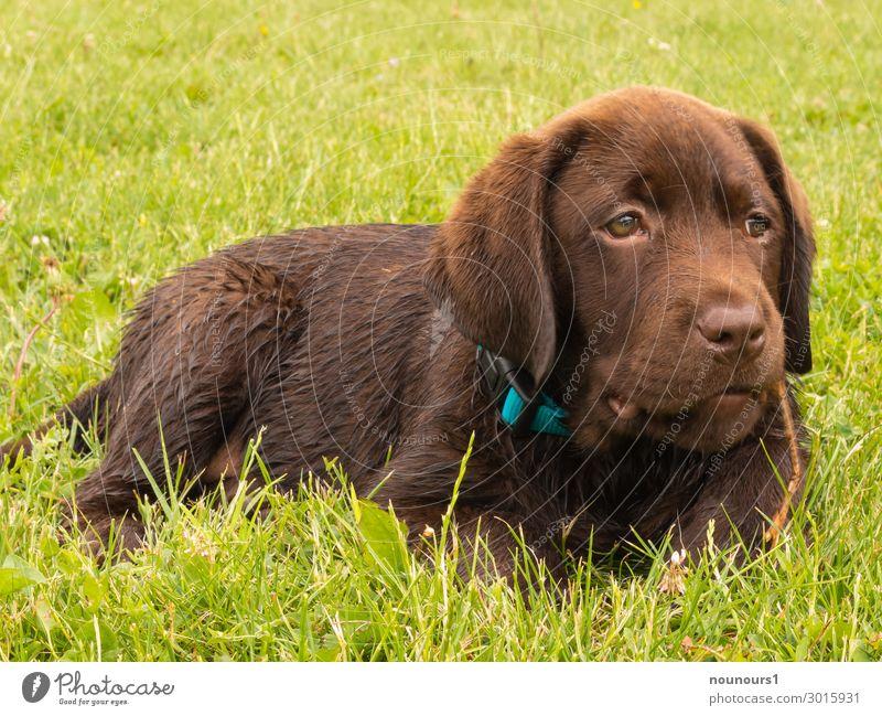 Welpe im Gras Tier Haustier Hund Tiergesicht Fell 1 Tierjunges liegen Coolness Fröhlichkeit lustig braun grün türkis frech neugierig Farbfoto Außenaufnahme