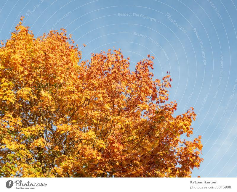 Herbstlaub Garten Umwelt Natur Tier Himmel Wolkenloser Himmel Klimawandel Schönes Wetter Baum Park Wald leuchten Senior Leben Jahreszeiten Blatt Hintergrundbild
