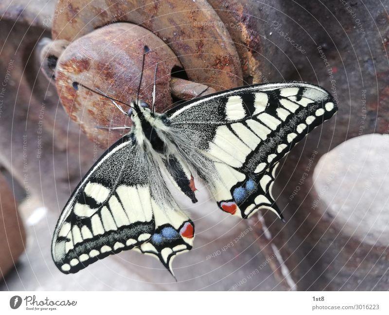 Schmetterling Schwalbenschwanz Butterfly swallowtail Umwelt Natur Pflanze Tier 1 Beton Metall Stahl Rost Linie Streifen fliegen leuchten ästhetisch elegant