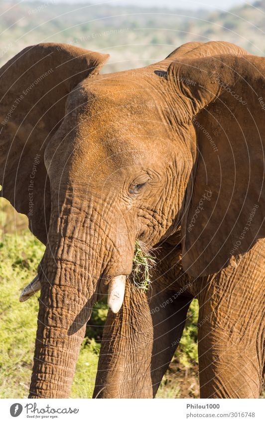 Ein alter Elefant in der Savanne des Samburu Parks. Spielen Ferien & Urlaub & Reisen Safari Natur Tier groß wild Afrika Kenia Afrikanisch Schlacht Verhalten