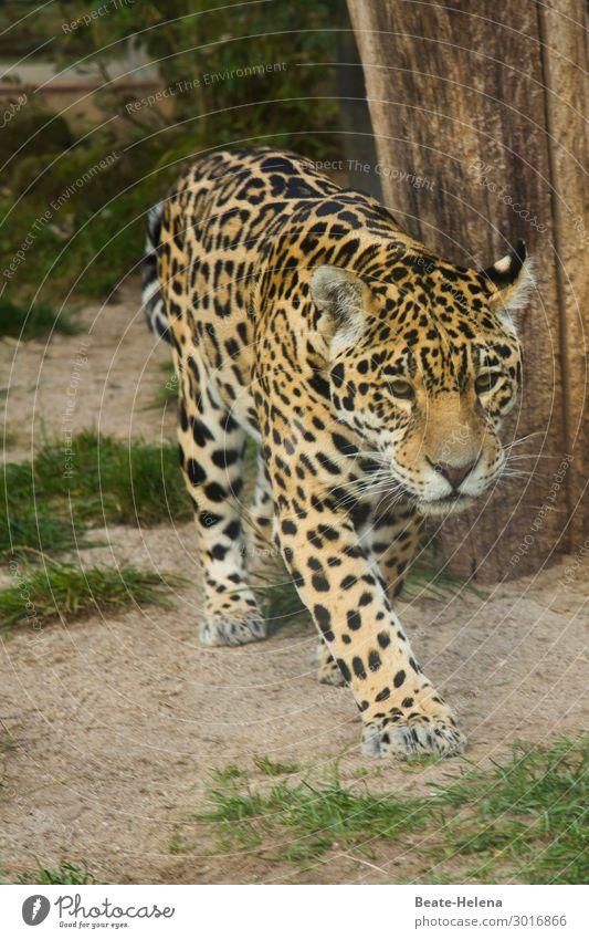 Gefleckter Baby-Räuber schön Baum Gras Tier Wildtier Katze Raubkatze beobachten entdecken Jagd kämpfen laufen springen ästhetisch exotisch groß Neugier klug