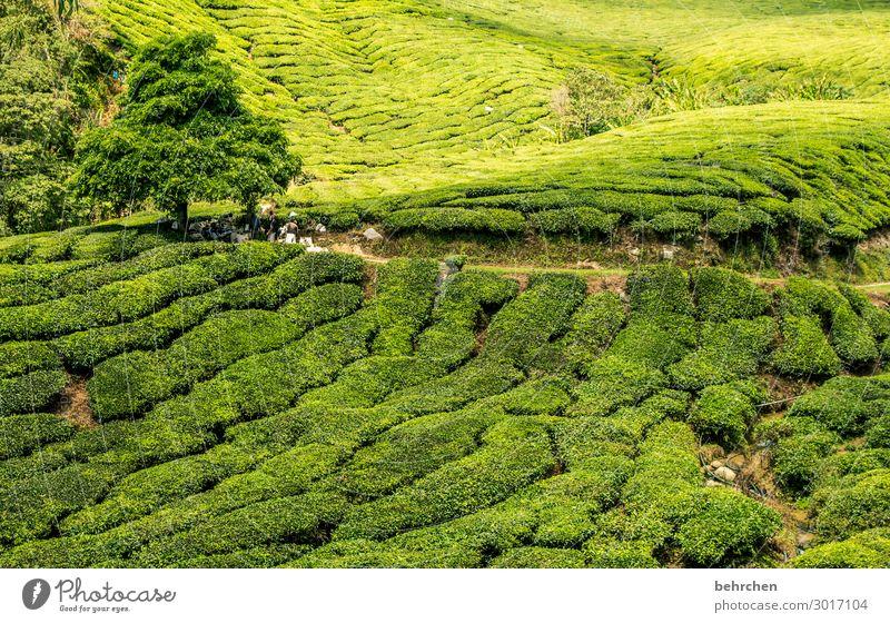 gesundheit | teeeeee Sonnenlicht Kontrast Licht Tag Außenaufnahme Farbfoto Fernweh schön Klimawandel Umweltschutz Teepflücker Pause cameron highlands Malaysia