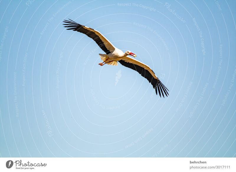 i believe i can fly Nahrung Nahrungssuche Fressen Küken Schnabel Tier Feder blau Luft Storch hoch Flügel Vogel Wildtier Himmel Natur fliegen Freiheit