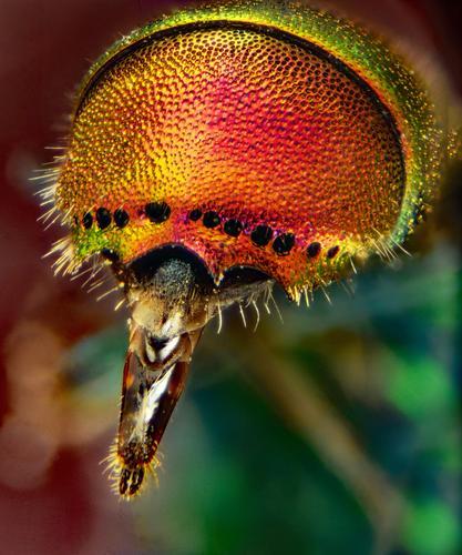 Natürlich schön Tier Sommer Wildtier Wespen Goldwespe 1 Mikroskop exotisch glänzend stachelig blau braun mehrfarbig gelb gold grün orange rosa rot schwarz