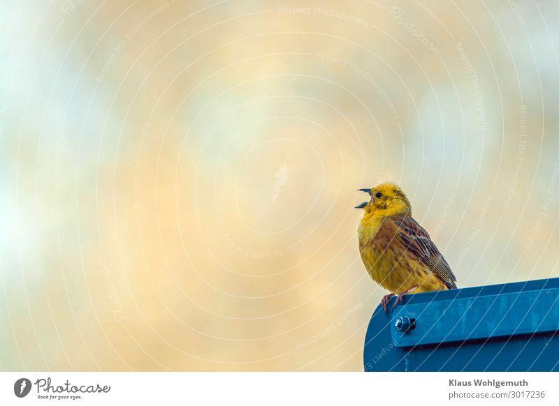 Neueste Nachrichten Verkehrszeichen Verkehrsschild Tier Wildtier Vogel Flügel Krallen Goldammer 1 sitzen blau braun gelb gold Feder Farbfoto Außenaufnahme