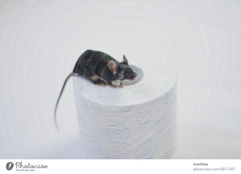 maus Maus Haustier Nagetiere kleines Säugetier Tier 1 Fell weiß schwarz Toilettenpapier Papier Rolle Hintergrund neutral Vorsicht behutsam Angst Ekel tierisch