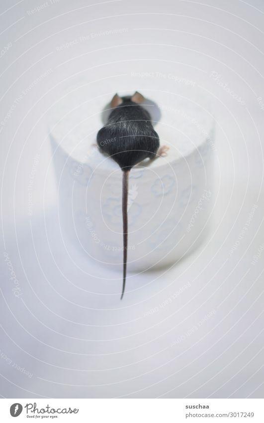 mauseschwänzchen Maus Tier Ratte Haustier Nagetiere kleines Säugetier 1 Fell weiß schwarz Toilettenpapier Papier Rolle Hintergrund neutral Vorsicht behutsam