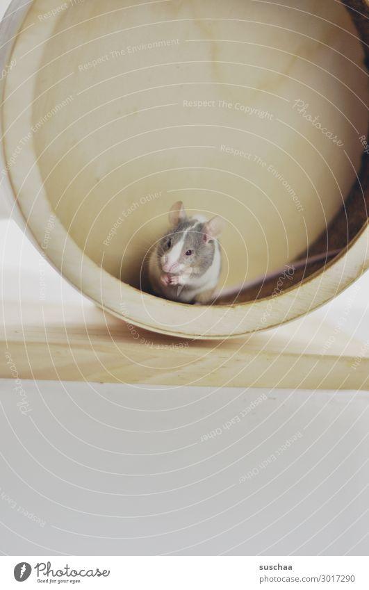 maus im holzlaufrad Maus Haustier Nagetiere kleines Säugetier Tier 1 Hintergrund neutral Vorsicht behutsam Angst Ekel tierisch lustig niedlich Ohr Äuglein