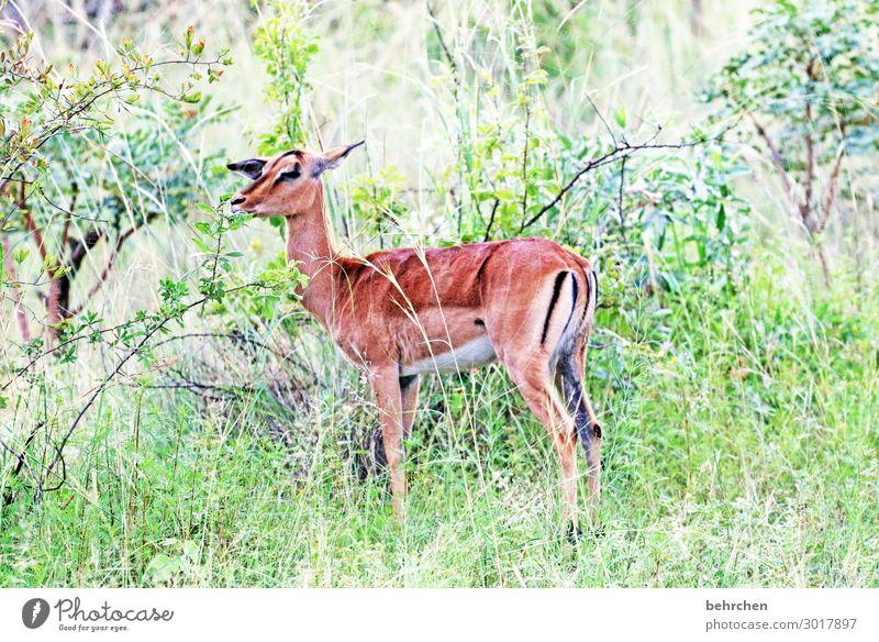 südafrikanisches reh Tierjunges Abenteuer Landschaft fantastisch Freiheit Tourismus Safari Südafrika Tierliebe Wildnis Fernweh Tag Tierporträt Tierschutz