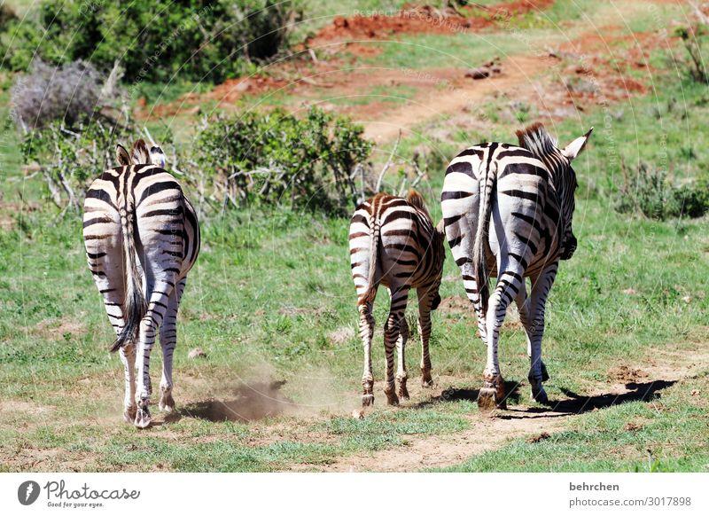 drei ärsche Ferien & Urlaub & Reisen Tourismus Ausflug Abenteuer Ferne Freiheit Safari Natur Wildtier Zebra 3 Tier Tierjunges Tierfamilie außergewöhnlich
