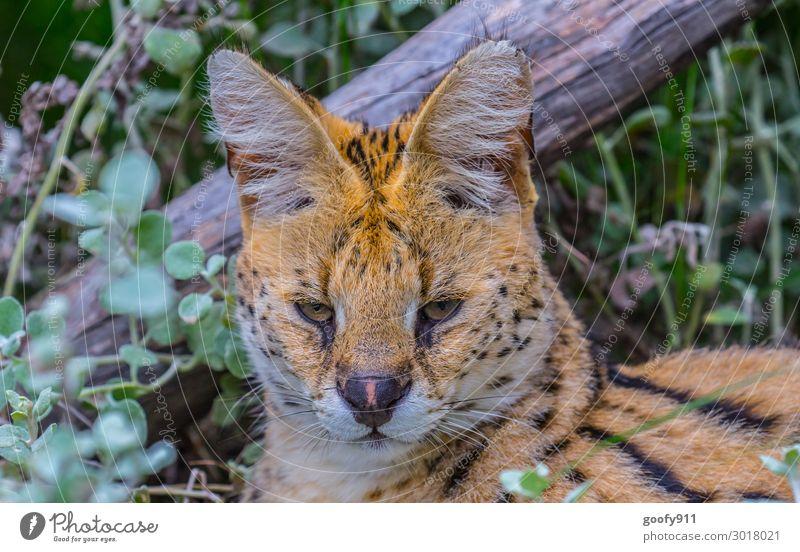 Montagsstimmung Ferien & Urlaub & Reisen Tourismus Ausflug Abenteuer Ferne Freiheit Safari Expedition Gras Sträucher Tier Wildtier Katze Tiergesicht Fell 1