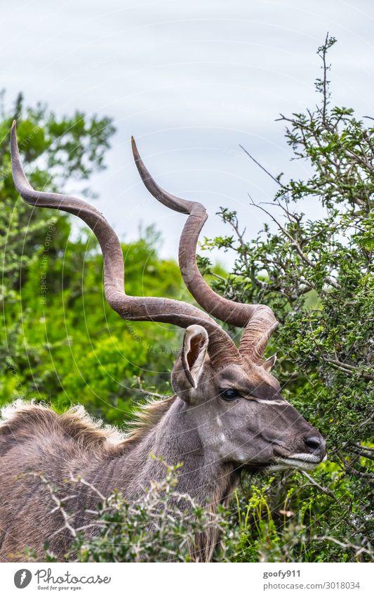 Kudu III Ferien & Urlaub & Reisen Tourismus Ausflug Abenteuer Ferne Freiheit Safari Expedition Umwelt Natur Landschaft Pflanze Baum Sträucher Grünpflanze Tier