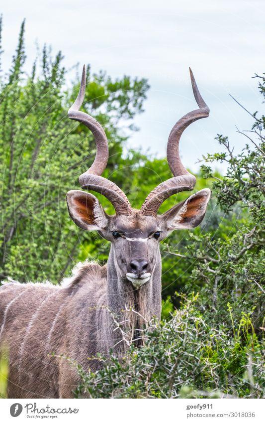 Kudu Ferien & Urlaub & Reisen Tourismus Ausflug Abenteuer Ferne Freiheit Safari Expedition Umwelt Natur Landschaft Pflanze Baum Sträucher Blatt Grünpflanze Tier
