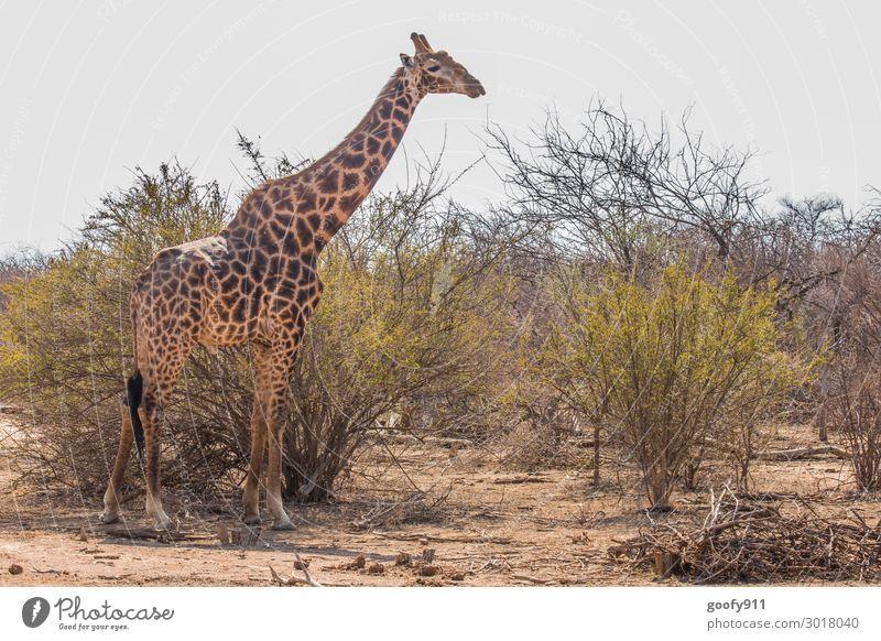 Hoch gewachsen Ferien & Urlaub & Reisen Tourismus Ausflug Abenteuer Ferne Freiheit Safari Expedition Umwelt Natur Landschaft Erde Sand Himmel Wolken Sonnenlicht