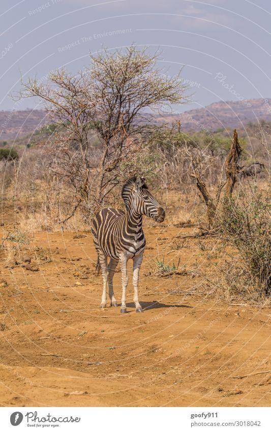 Zebra Ferien & Urlaub & Reisen Tourismus Ausflug Abenteuer Ferne Freiheit Safari Expedition Umwelt Natur Landschaft Sand Sonnenlicht Wärme Dürre Baum Sträucher
