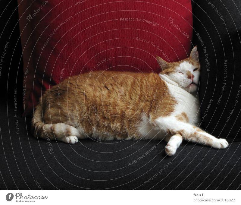 Sofakater Tier Haustier Katze 1 schlafen niedlich schön braun rot schwarz weiß Zufriedenheit Geborgenheit Tierliebe ruhig Frieden Kissen Farbfoto Innenaufnahme