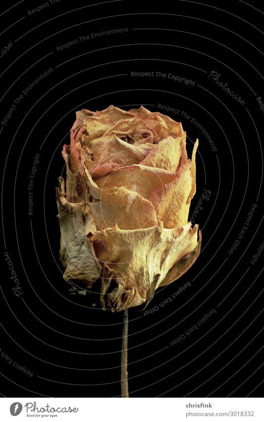 Rose vertrocknet Pflanze Blume Duft verblüht Erotik gelb gold Gefühle Stimmung Trauer Tod Liebeskummer welk getrocknet Farbfoto Innenaufnahme Studioaufnahme