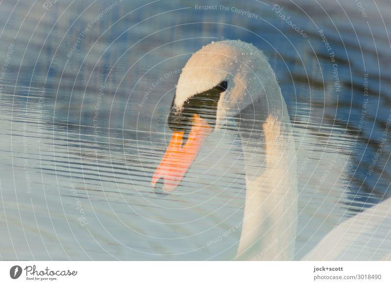 tauchen & tunken Wasser Teich Franken Wildtier Schwan Tiergesicht Schnabel 1 ästhetisch Sinnesorgane wellig Doppelbelichtung Wasseroberfläche Illusion