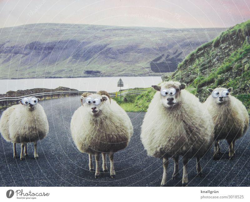 Einheimische Natur Landschaft Hügel Tier Nutztier Schaf 4 Tiergruppe kulleräugig beobachten stehen einzigartig lustig grau grün weiß Neugier Interesse