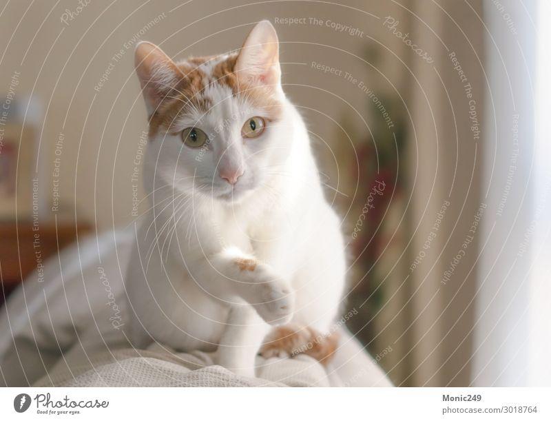 Wunderschöne weiße Katze mit braunen Flecken kletterte auf eine Couch. Gesicht Haus Baby Tier Pelzmantel Haustier 1 Blick blond elegant kuschlig klein lustig