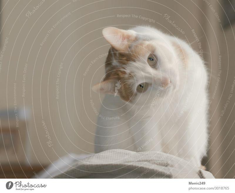 Wunderschöne weiße Katze mit braunen Flecken kletterte auf eine Couch. Gesicht Baby Tier Pelzmantel Haustier Tiergesicht 1 blond elegant kuschlig klein lustig