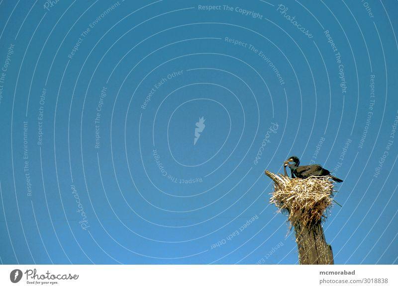 Vogel mit Beute Natur Himmel 1 Tier sitzen blau schwarz Trennung Fauna natürliche Welt Sitzgelegenheit basierend auf Nest vereinzelt horizontal Farbfoto