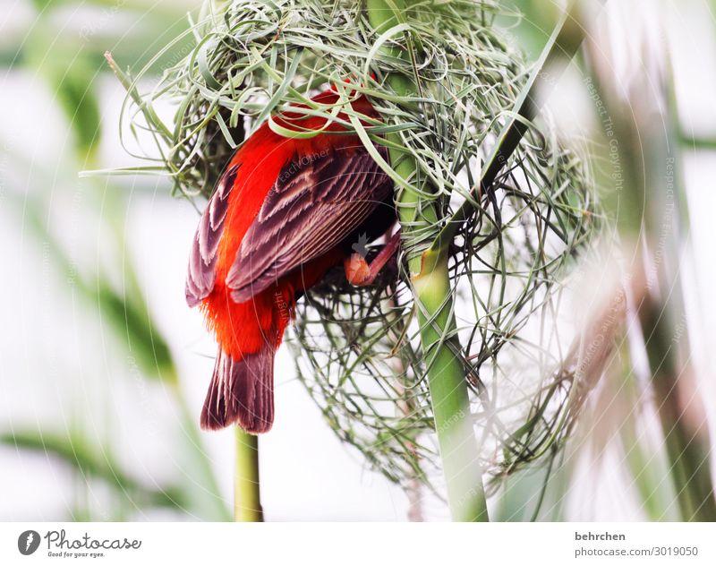 wertvoll | zuhause Ferien & Urlaub & Reisen Tourismus Ausflug Abenteuer Ferne Freiheit Safari Wildtier Vogel Flügel Feder webervogel red bishop bauen