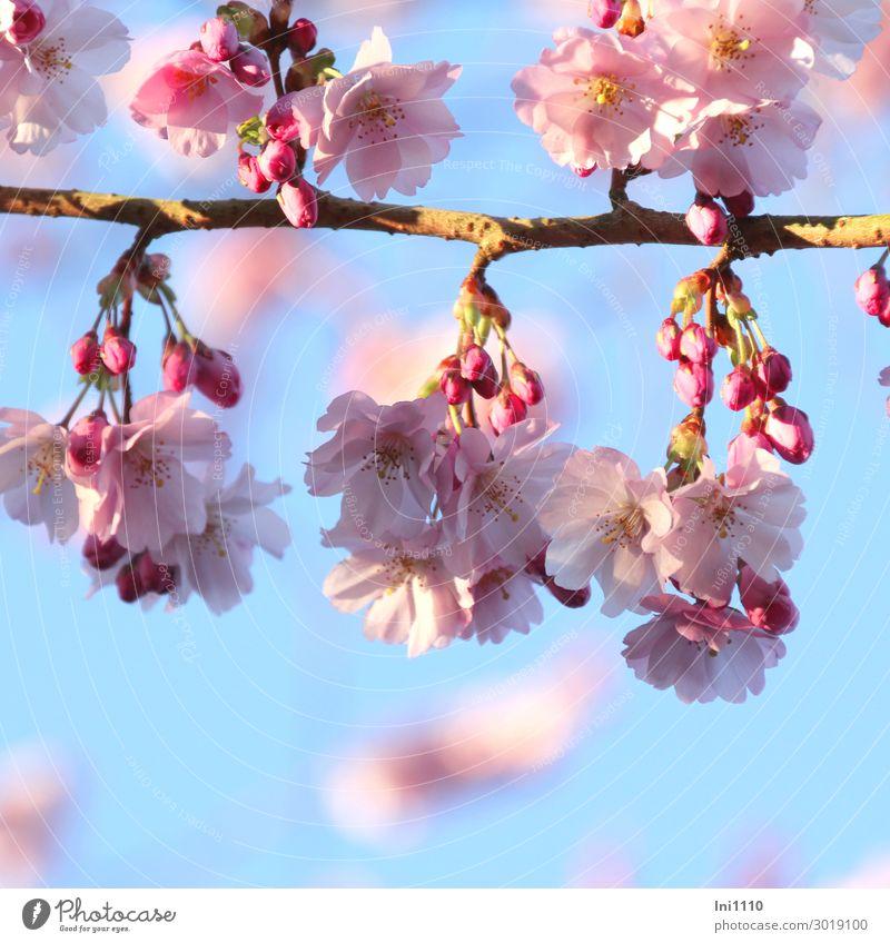 Blüten der Zierkirsche Pflanze Himmel Sonnenlicht Frühling Schönes Wetter Baum Garten Park blau gelb grau rosa weiß duftig Blütenknospen Blütenstempel